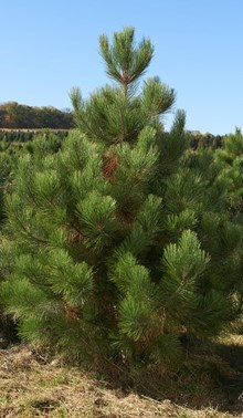 red-pine-2-2